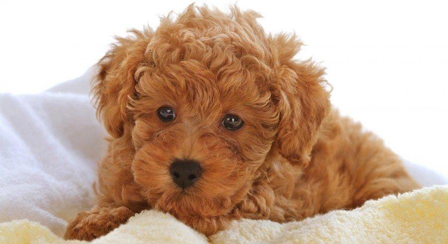 ebola en perros